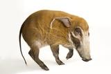 A Red River Hog  Potamochoerus Porcus  at the Cincinnati Zoo