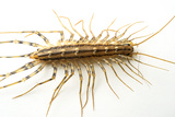 A House Centipede  Scutigera Coleoptrata  from the Wild