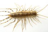 A House Centipede  Scutigera Coleoptrata  from the Wild