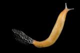 A Studio Portrait of a Wild Slug