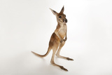 A Young Red Kangaroo  Macropus Rufus  at Rolling Hills Wildlife Adventure