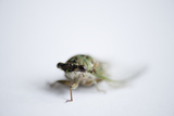 An Annual Cicada or Dog-Day Cicada  Tibicen Canicularis