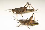 The Southeastern Lubber Grasshopper  Romalea Microptera