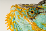 The Eye and Face of a Veiled Chameleon  Chamaeleo Calyptratus