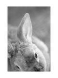 Rabbit's Ear Reproduction d'art par Henry Horenstein