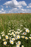Schleswig-Holstein  Field with Camomile Blossoms