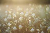 Spring Snowflake  Leucojum Vernum