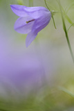 Harebell  Campanula Rotundifolia  Close-Up