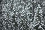 Spruce Forest  Detail  Trees  Snow-Covered  Nature
