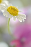 Camomile  Matricaria Chamomilla  Blossom  Close-Up