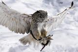 Forest  Eagle-Owl  Bubo Bubo  Flight  Snow  Landing  Winters  Series  Wilderness  Wildlife