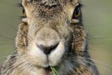 Field Hare  Lepus Europaeus  Portrait  Cut  Mammal  Animal  Hare  Face  Fur  Eat