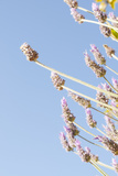 Lavender Blossoms  Lavandula Angustifolia  Syn Lavandula Officinalis