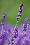 Lavender Field  Blossoms  Medium Close-Up
