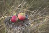 Apples  Old Stump