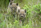 Meadow  Carpathian Mts Lynxes  Lynx Carpathicus  Young Animals  Edge of the Forest