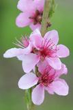 Peach-Tree  Fork  Blossoms  Detail