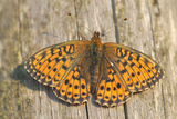 Lesser Marbled Fritillary on Wood  Weathered