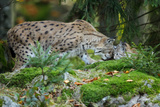 Forest  Eurasian Lynx  Lynx Lynx  Mother and Cub  Eye Contact