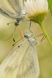 Wood White Butterflies  Two  Mating  Close-Up