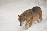 Wolf in the Snow  Bavarian Forest National Park  Bavarians  Germany