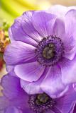 Flower  Anemone  Blossom