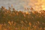 Reed at Sunrise  Zingst  Barther Bodden  Darss  Fischland-Darss-Zingst