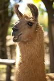 Argentina  Patagonia  Junin De Los Andes  Farm  Llama  Portrait