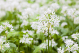 Wild Garlic  Allium Ursinum  Detail  Blossoms