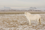 Iceland Horse  Near Hvollsvšllur  South Iceland  Iceland