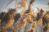 Reed in the Backlight  Germany  Bavaria  FŸrstenfeldbruck  District