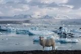Jškulsarlon - Glacier Lagoon  Morning Light  Sheep