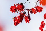 Japanese Maple  Branch  Leaves  Red  Sky  Autumn