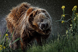 Brown-Bear  Ursus Arctos  Fur  Wet  Shakes
