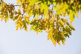 Oak  Branch  Leaves  Sky  Autumn