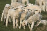 Merino Sheeps  Lambs