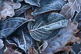Fall Leaves  Hoarfrost
