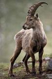 Italy  Alpine Ibex  Capra Ibex