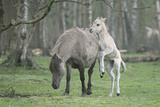 Dulmen Pony  Foals