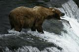 USA  Alaska  Katami National-Park  Waterfall  Grizzly Bear