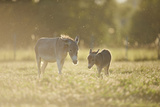 Donkey  Equus Asinus Asinus  Mother and Foal  Meadow  are Lying Laterally