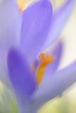 Spring Crocus  Crocus Vernus  Blossom