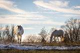 Horses on the Pasture  Germany  Bavaria  Winter  Snow  Shagya  Arab