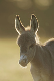 Donkey  Equus Asinus Asinus  Foal  Portrait  Meadow  Is Lying Laterally