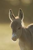 Donkey, Equus Asinus Asinus, Foal, Portrait, Meadow, Is Lying Laterally Papier Photo par David & Micha Sheldon