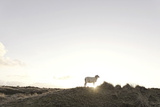 Sheep on Dune  the Sun  Back Light  List  Island Sylt  Schleswig Holstein  Germany