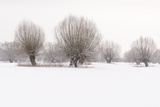 Germany  North Rhine-Westphalia  Pollard Willow Trees in Winter