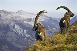 Mountains  Alpine Ibexes  Capra Ibex Ibex  View from Behind  Series