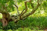 South Africa  'Kirstenbosch'  Camphorwood