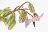 Borage  Borago Officinalis  Blossoms